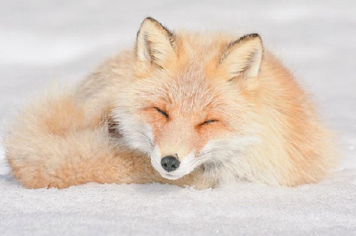 7 loài động vật dễ thương trên đảo Hokkaido - Nhật Bản